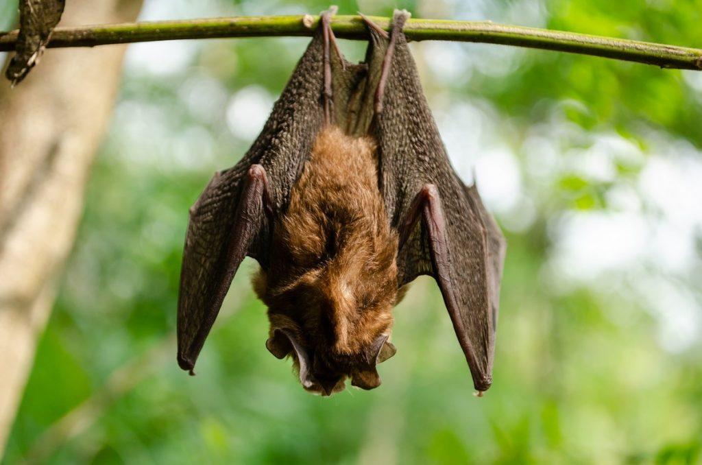 Greensboro Bat Removal